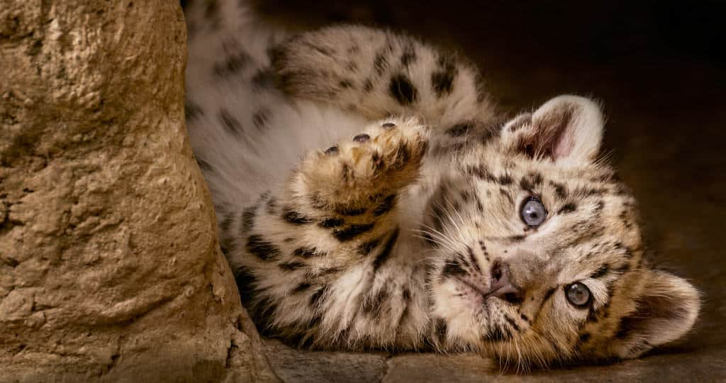 Help out endangered snow leopards by watching Born in China opening week.
