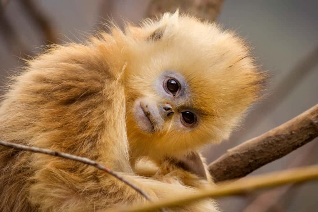 Meet Tao Tao, a golden snub-nosed monkey in Disneynature Born in China.
